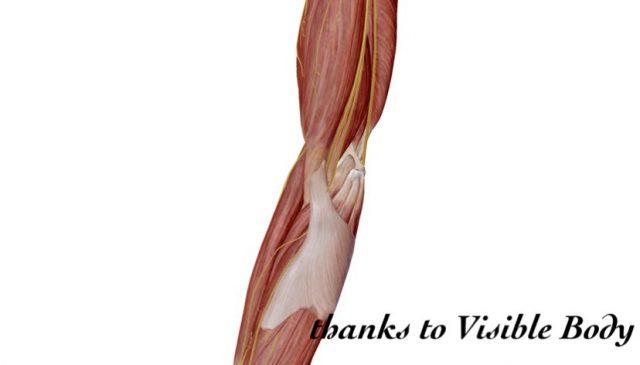 肘の解剖図